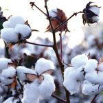 Cotton Dips Lower With Corona Virus Fear